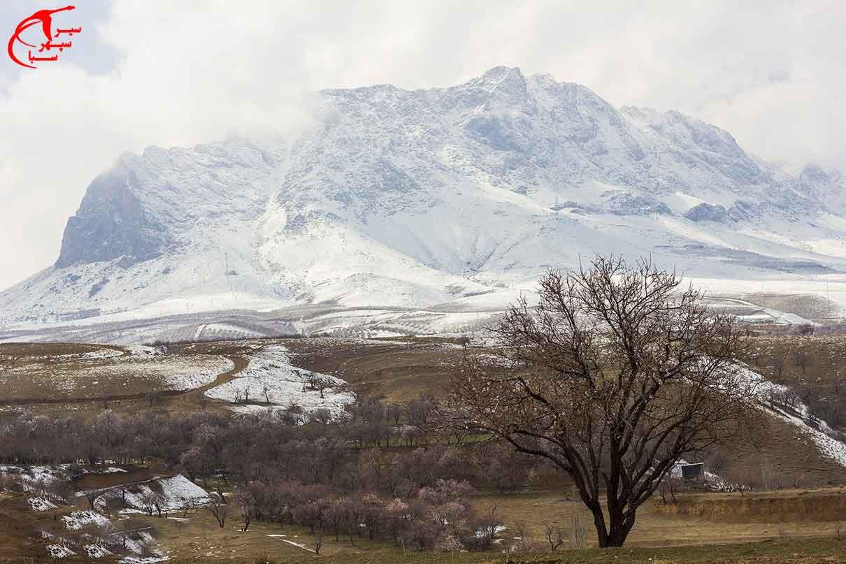 سرمازدگی درختان بادام در شهرستان سامان