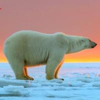 محل زندگی خرس قطبی